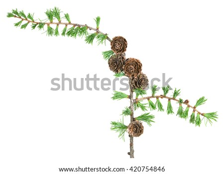 European larch twig, Latrix decidua with cones isolated on white background