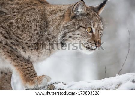 European Lynx hunting prey - stock photo