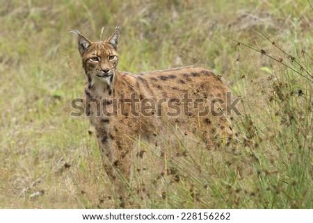 European Lynx in tall grass - stock photo