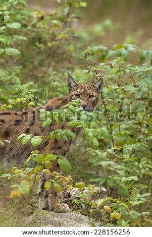 European Lynx in the forest - stock photo