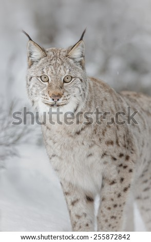 European lynx in winter wilderness - stock photo