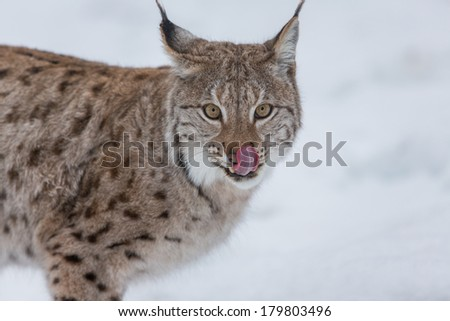 European Lynx licking nose, hungry - stock photo