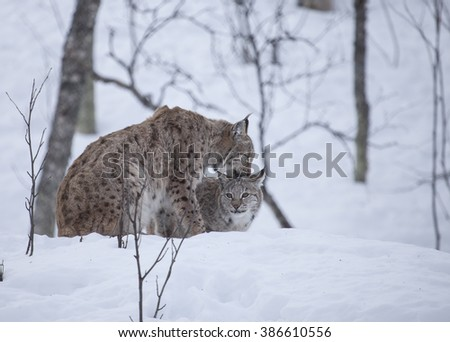 European lynxes in a winter forest. Adult and cub.Norway. - stock photo
