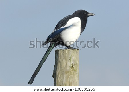 European Magpie (Pica pica) sitting on a fence post - stock photo