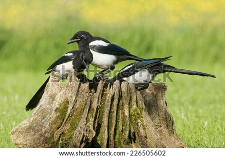 European Magpies (pica pica) perched on a rotten tree stump covered in moss