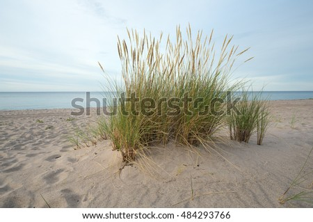 European marram grass, Ammophila arenaria growing in sand on a beach, ocean in the background