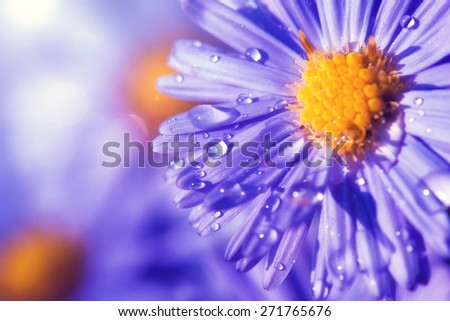 European michaelmas daisy (Aster amellus). Aster is a genus of flowering plants in the family Asteraceae. - stock photo