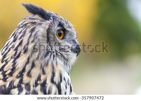 European or Eurasian Eagle Owl, Bubo Bubo, with big orange eyes - stock photo
