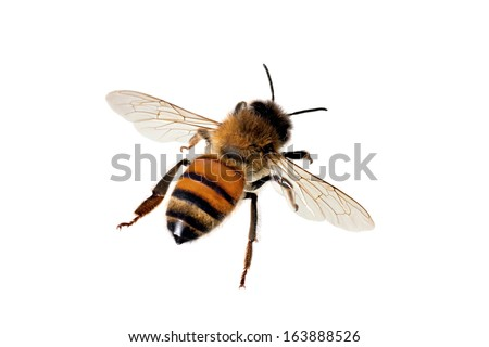European or Western honey bee, isolated on white, wingspan 18mm - stock photo