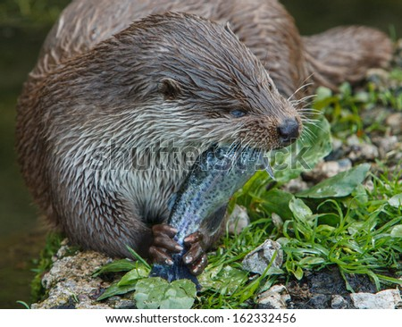 European otter eating fish