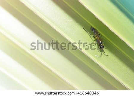 European Paper Wasp, Polistes dominula, collecting nectar from palm leaf