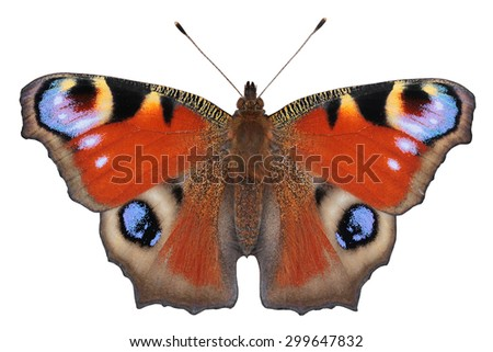 European Peacock butterfly (Inachis io) - perfect details by macro lens - stock photo