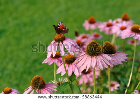 European Peacock butterfly(Inachis io) sitting on Echinacea