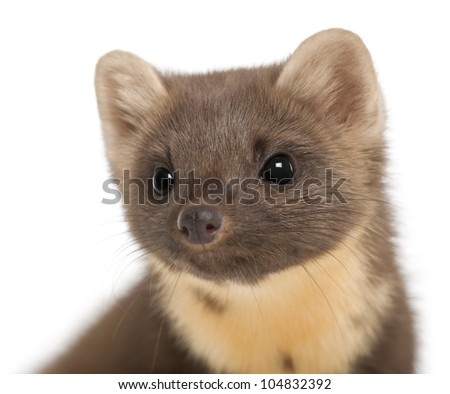 European Pine Marten or pine marten, Martes martes, 4 years old, against white background - stock photo