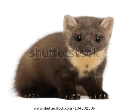 European Pine Marten or pine marten, Martes martes, 4 years old, sitting against white background - stock photo