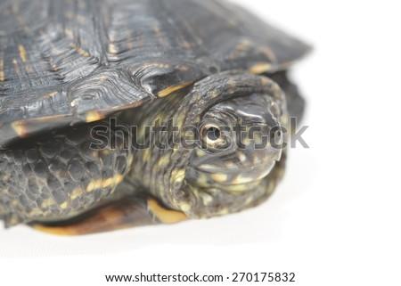 European pond turtle Emys orbicularis isolated - stock photo