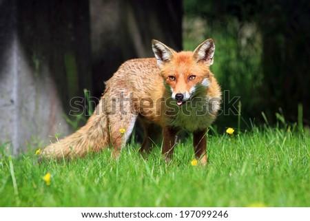 European Red Fox (Vulpes vulpes) Vixen - stock photo