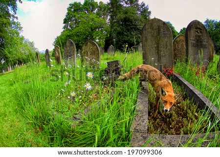 European Red Fox (Vulpes vulpes) Vixen amongst the graves at a cemetery - stock photo