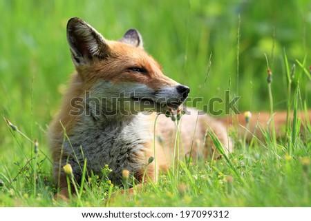 European Red Fox (Vulpes vulpes) Vixen relaxing amongst the grass.  - stock photo
