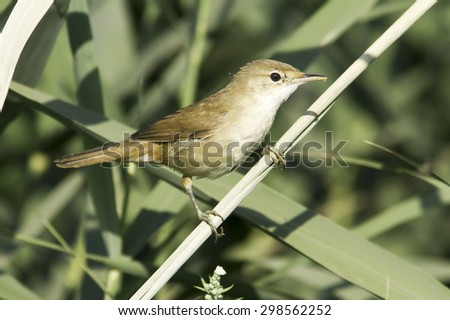 European Reed Warbler in natural habitat Acrocephalus Scirpaceus - stock photo
