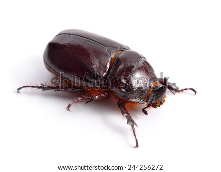 European rhinoceros beetle isolated