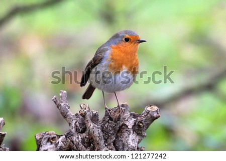 European Robin (Erithacus rubecula) - stock photo