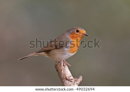 European robin, Erithacus rubecula on a branch. Shallow depth of field and background blurred - stock photo