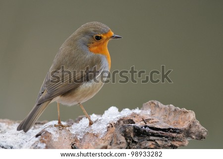 European Robin (Erithacus rubecula) on ice covered perch