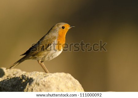 European Robin male (Erithacus rubecula), Alicante, Spain,Europe