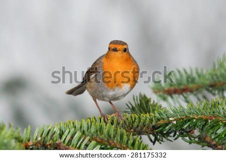 European robin on a fir branch - stock photo