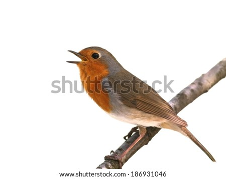 European robin perched on a twig, isolated on white - stock photo