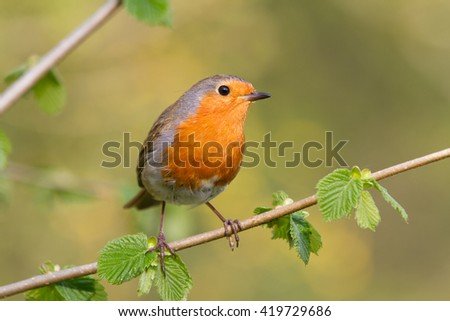 European robin perched on a woodland branch with a natural green background.