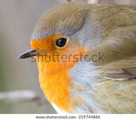 European Robin - Roodborst - stock photo