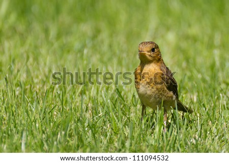 European Robin (young)