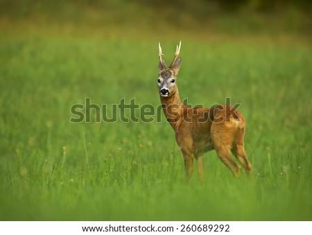 European Roe Deer (Capreolus capreolus)       - stock photo