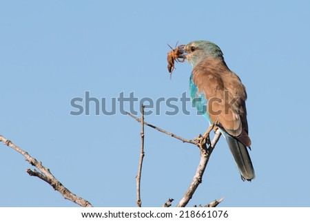 European roller in blue detail eating a scorpion on a branch in the sun - stock photo