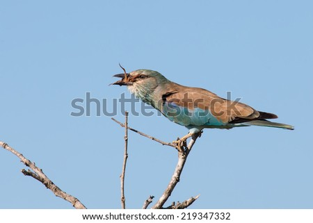 European roller in blue detail sitting on a branch in the sun - stock photo