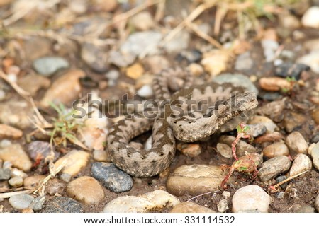 european sand viper camouflaged on gravel ( Vipera ammodytes )