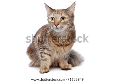 European short haired cat