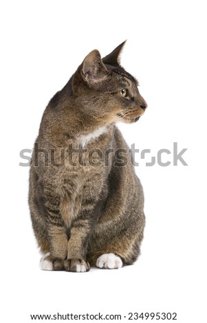 european-shorthair cat in front of a white background - stock photo