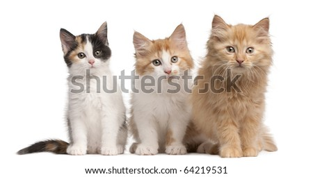European Shorthair kittens, 10 weeks old, sitting in front of white background - stock photo