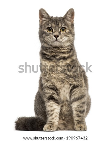 European Shorthair (6 months old) sitting - stock photo
