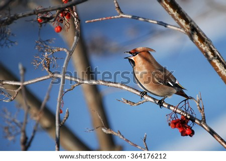 european songbird on branch in winter, colorful bird on blue background