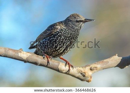 European starling resting on a small tree branch. - stock photo