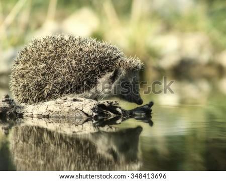 European thirsty hedgehog (Erinaceus europaeus) - duplex image - stock photo