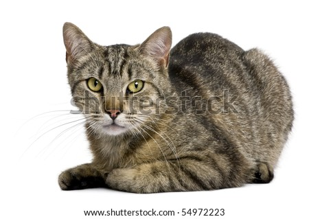 European tiger cat, 13 months old, in front of white background - stock photo