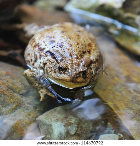 European toad (Bufo bufo) has a rest in water