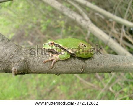 European tree frog (Hyla arborea) - stock photo