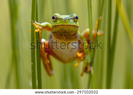European tree frog (Hyla arborea) climbing in common rush (juncus effusus) looking in the camera - stock photo