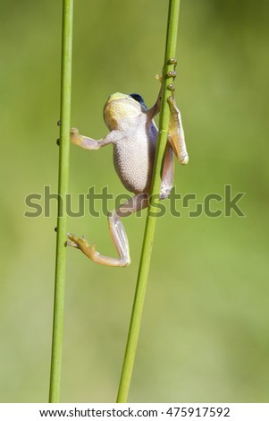 European tree frog (Hyla arborea) climbing on reed  in Zelhem, the Netherlands.